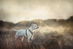 On the lookout (aveyardphotography) Tags: labrador dog bitch puppy young heather moorland yellow art artistic pet hunting retriever double exposure arty looking watching