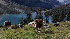 _SG_2018_09_0029_IMG_0067 (_SG_) Tags: schweiz suisse switzerland daytrip tour wandern hike hiking kandersteg lake oeschinen oeschinensee upper station heuberg panorama unterbärgli oberbärgli nature aussicht view unesco world heritage trail mountain berge loop