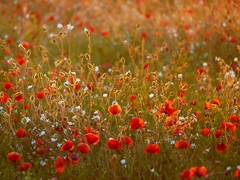 (Kaska Ppp) Tags: flower flowers flora flowersphotography fleur floral nature naturephotography natura meadow red bokeh