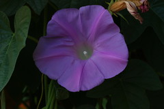 glorious (ranchodon) Tags: flower macro 100mm canon morning glory garden nature
