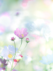 Autumn flowers in spring color (Tomo M) Tags: cosmos flower plant nature pastel bright soft dreamy autumn bokeh pink pentacon outdoor ひたち海浜公園