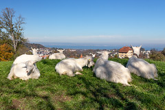 Goats enjoying the view (.hd.) Tags: stgallen 2018 autumn goat view bodensee lake sky bluesky shadow atumn