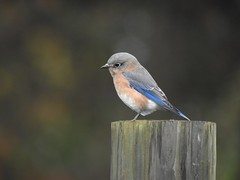 Eastern Bluebird (Explored #58) (FluvannaCountyBirder754) Tags: bluebird easternbluebird post pleasantgrovepark fluvanna fluvannacounty birdwatching birding bird birder birds wildlife nature outdoor outdoors outside animal creature virginia thrush