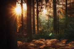 Autumn forest with the last sun rays (HeiJoWa) Tags: sony alpha 6000 7artisans forest wald herbst autmn fall trees woods bäume sun light sonne licht strahlen sonnenstrahlen natur nature sundown atmosphere mood atmosphäre stimmung herrnergal saarland nunkirchen deutschland germany gegenlicht 55mm