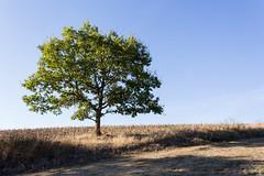 IMG_1994 (Tobwie) Tags: eifel autumn herbst baum tree canon singel einsam lonley dry trocken landschaft landscape traumpfade monrealerritterschlag