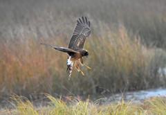 Northern Harrier3 10-23-18 (Carol Riddell) Tags: northernharrier circuscyaneus edmondsmarsh snohomishcountybirds washingtonbirds raptor birdofprey birdsofedmonds