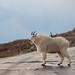 Goat in Road