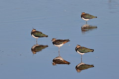Lapwing reflections (ctrolleneos) Tags: canon80d 100400 rspb titchwellmarsh norfolk lapwing