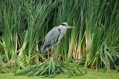 Heron in Amsterdam (steve_whitmarsh) Tags: amsterdam netherlands holland nature wildlife animal birds feathers heron topic