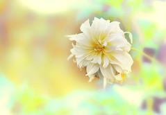 Dahlia /Георгины (VikTori_kvl23) Tags: flower bloom flowers nature beauty closeup macro bright russia plants георгин dahlia water garden butterfly