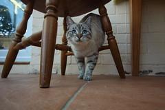 Esmé (charliejb) Tags: esmé cat feline pet moggy moggie 2018 westburyontrym bristol furry furred fur