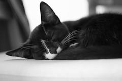 Socks sleeping (S Rizzo) Tags: cat photo sam rizzo nikon flickr sleeping kitten kittens cute black white