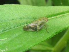 Froghopper (Cercopidae) (tigerbeatlefreak) Tags: froghopper cercopidae hemiptera insect wisconsin