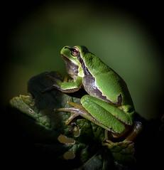 tree frog (moniquedoon) Tags: frog frogs kikker