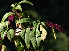 frutti autunnali (fotomie2009) Tags: autumn autunno flora autunnale autumnal fruit berries berry pokeberry fitolacca americana phytolacca bacche purple