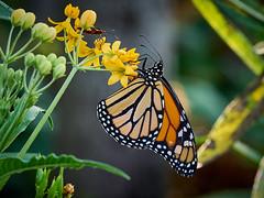 Monarch with Beetle - EMB77126 (j_m_kubler) Tags: olympusem1 olympus12100mmf4 c1 captureonepro monarch solderbeetle bug butterfly