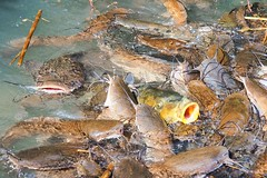 Fish feeding in a pond (Ilia K.) Tags: colorful nutrition meal child oxygen travel white pattern farm feeding environment outdoor brown eat fresh natural summer color fishing lake wildlife group life animal feed pond nature water farming many river background food fish carp catfish yellow mouth