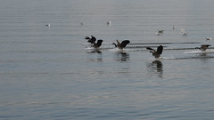Approach (remiklitsch) Tags: hudson river nyack newyork nature birds ducks water afternoon october nikon remiklitsch action movement
