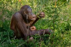 Earting vegtables (Flemming Andersen) Tags: apenheul zoo monkey animal apeldoorn gelderland netherlands nl