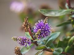 Little Purple Flowers (Orbmiser) Tags: olympus40150mmf4056r 43rds em1 mirrorless omd olympus ore oregon portland bush flowers purple