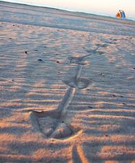 Seagull`s footprints in the sand (Szemeredi Photos/ clevernails) Tags: spain costablanca seagull footprint sand sunrise pebble shell sea horizont memory summer august holiday walk bird macro