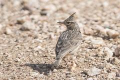 DSC_5432 (P2 New) Tags: 2018 alaudidae animaux cochevishuppé date espagne extremadura mai oiseaux passériformes pays