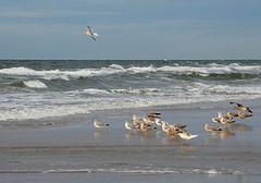 Ehrenrunde (niedersachsenfoto) Tags: möwe strand nordsee brandung loekken dänemark niedersachsenfoto