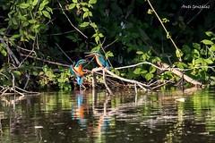 Pareja de Martines (morlokiano) Tags: fauna naturaleza animales aves birds charcas pajaros