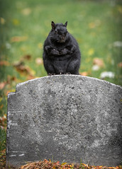 Life and Death Situation (Rainfire Photography) Tags: cemetery headstone halloween squirrel wildlife autumn fall toronto grave nikon