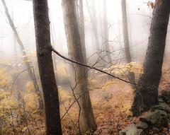 quiet time (bidutashjian) Tags: fog forest woods trees autumn yellow leaves november stonewall orange mist fall landscape misty foggy nikon b500 bidutashjian nature outdoors