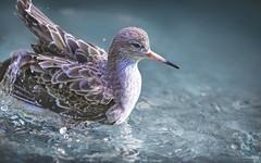 Ruff (Paula Darwinkel) Tags: ruff bird water animal wildlife nature waterbird wadingbird sea blue splash