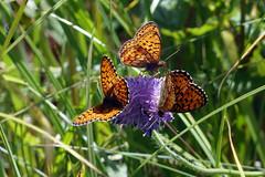 Liblikad (Jaan Keinaste) Tags: olympussh1 eesti estonia elusloodus fauna liblikas butterfly tipuküla soomaa
