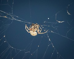 Dinner Time for the Orb Weaver Spider (kimkullman) Tags: 300mm nighttime nikon prey eyes creepy legs web arachnid bug insect spider weaver orb garden crucifera neoscona