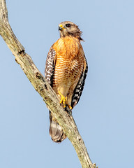 Red-shouldered Hawk (Michael R Hayes) Tags: redshoulderedhawk hawk bird