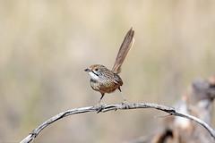 376A1463 (bon97900) Tags: 2018 birds murraysunsetnatinalpark striatedgrasswren victoria