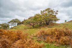 Autumn's arrival (mickreynolds) Tags: comayo erriffwoods fall ireland nx500 westport wildatlanticway autumn woods samyang 12mm