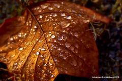 Herbst (grafenhans) Tags: sony alpha 68 a68 alpha68 slt tamron 455675300 usd laub herbst tropfen blatt makro macro grafenwald bottrop nrw