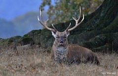 Sika Deer (stag) - Bedfordshire (Alan Woodgate) Tags: