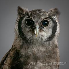 Afrikaanse Melkoehoe | Bubo Lacteus | Verreaux's eagle-owl (Ed Steenhoek) Tags: bird birdsofprey bubo bubolacteus hornedowl strigidae trueowl verreauxseagleowl