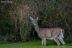 whitetail deer (dbking2162) Tags: animal deer white wildlife water wading whitetail summitlakestatepark indiana nature nationalgeographic dusk lowlight beautiful beauty explore ears outside green