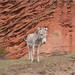 Red Rock Donkey