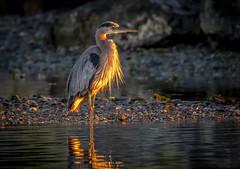 Morning Heron (Paul Rioux) Tags: nature avian shore wading bird great blue heron morning sunrise light orange glow beach rocks water calm reflection prioux