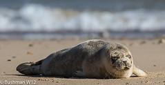 Grey Seal Pup (BushmanW12) Tags: seal pups horsey norfolk wildlife nature beach