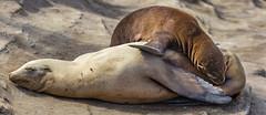18A_1500-Pano (Mark Ritter) Tags: seal seals macro lajolla california