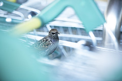 Starling perched on supermarket trolley (Benjamin Joseph Andrew) Tags: bird songbird passerine urban town city perching supermarket shop retailpark humanwildlife conflict