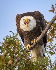 Screaming Eagle (Jerry_a) Tags: birds bombayhook baldeagle eagle haliaeetusleucocephalus birdsofprey raptor wildlife wildlifecanon600mmf4 delaware