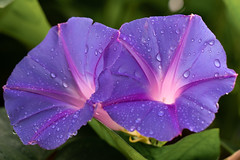 Purple flowers with rain drops (billcoo) Tags: 6d2 6dii 2 plant macro bokeh water morning glory