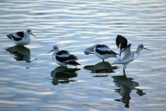 American Avocet (pchgorman) Tags: americanavocet recurvirostraamericana recurvirostra taxonomy:binomial=recurvirostraamericana hendersonbirdviewingpreserve nevada recurvirostridae clarkcounty october animals birds