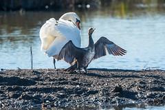 Rainham Swan and Cormarant