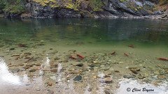 Sockeye at the Adams River canyon, BC (clive_bryson) Tags: sockeye fish adamsriver shuswap britishcolumbia canada canyon water 169 clivebryson